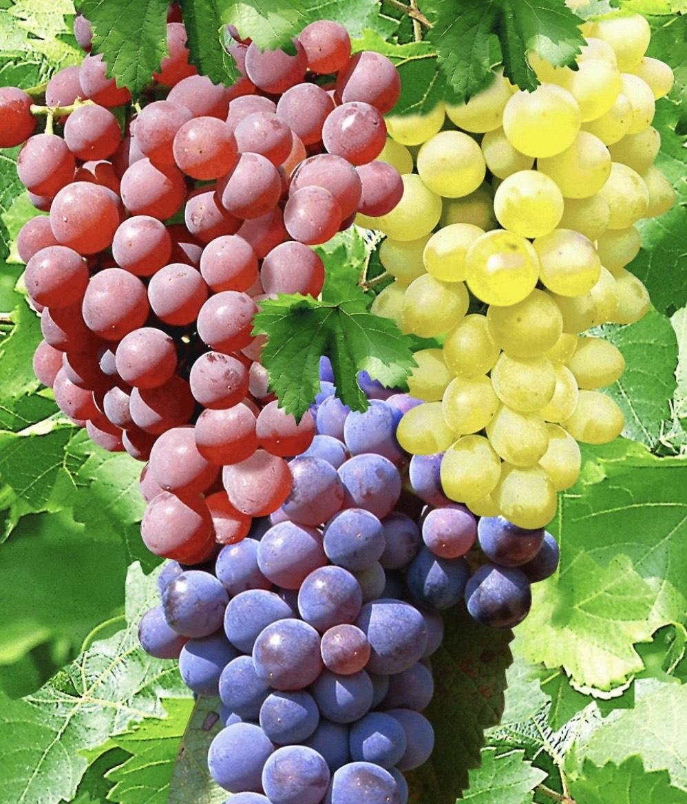 3 Containerpflanzen- Kernlose Tafel-Trauben/Wein-Kollektion - VSK Frei