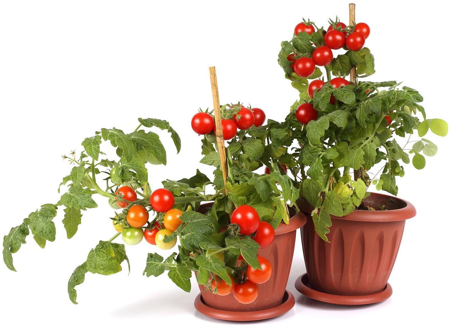 [Marktguru] 70 Cent Cashback auf Tomatenpflanzen /// 50 Cent + 40 Cent Cashback auf Wagner Steinofen Pizza