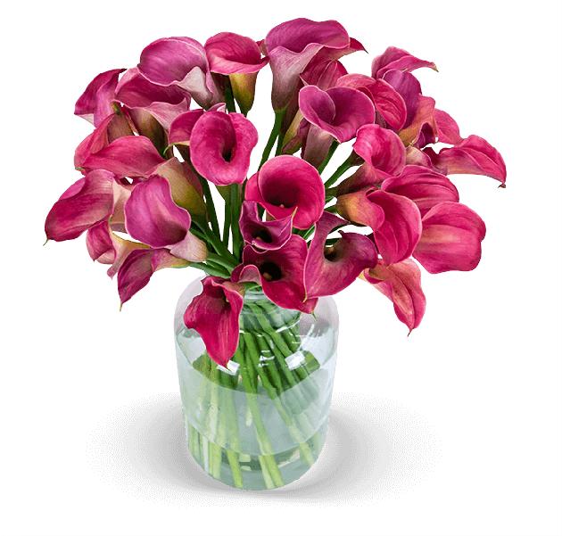 Großer Blumenstrauß mit 33 pinken Calla (50cm Länge) bei [Blume Ideal]