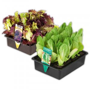 [Norma] Gemüsepflanzen Mix - Butterkopfsalat - Eissalat rot - Kohlrabi Superschmelz - Petersilie - Lollo Bionda - Lollo Rosso - Salatherzen