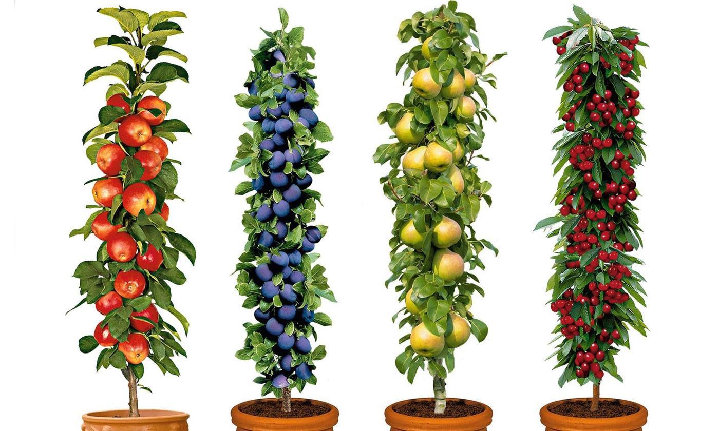 Säulenobst-Pflanzen: 4er-Set