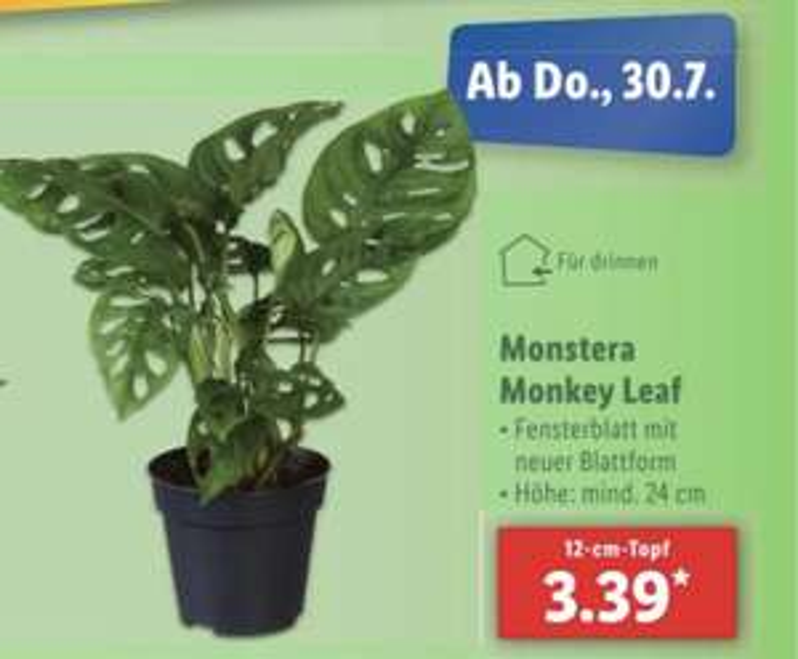 Zimmerpflanze: Monstera Adansonii / Monkey leaf LIDL