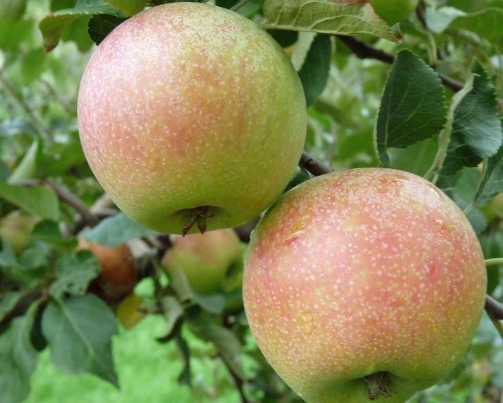 [Sparkasse Hannover] Gratis Apfelbaum für junge Familien lokal