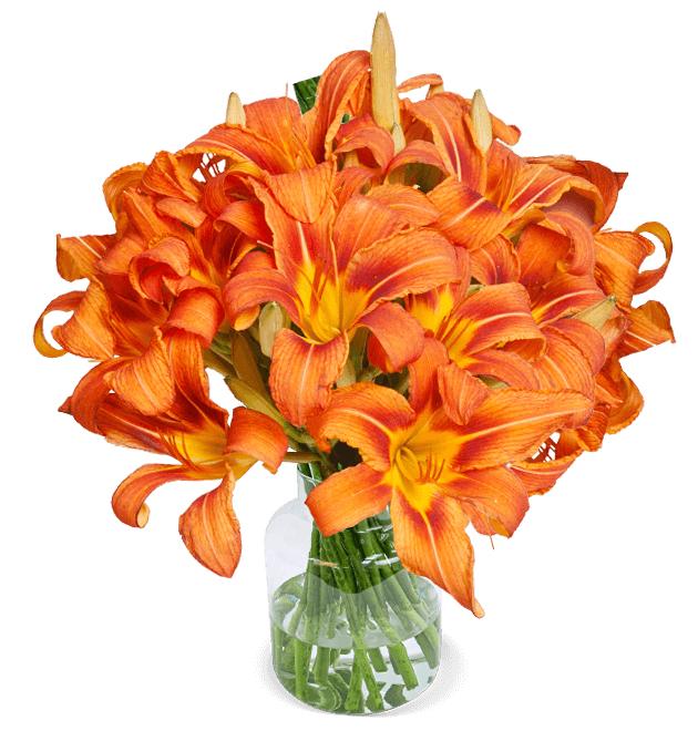 20 orange Lilien mit XXL Blüten (50cm Länge, 7-Tage-Frischegarantie, bis zu 60 Blüten)