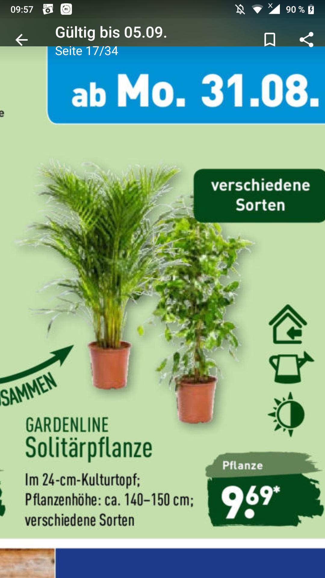 [Aldi Nord] Zimmerpflanzen 140-150cm im 24cm Topf für 9,69€ (z.B. Schefflera, Ficus, Yucca Palme, ...)