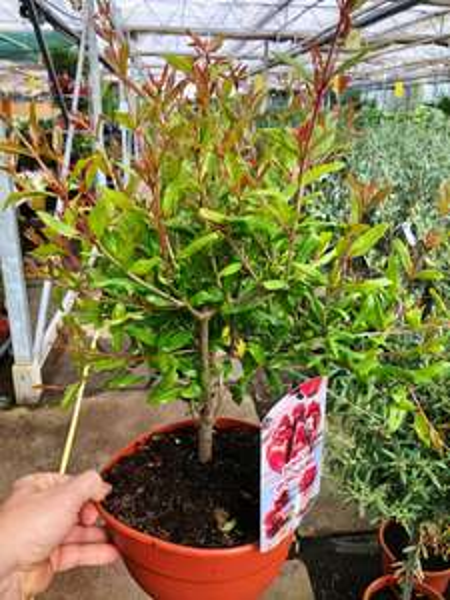 Granatapfelpflanze winterhart für Freunde des exotischen Gartenbaus
