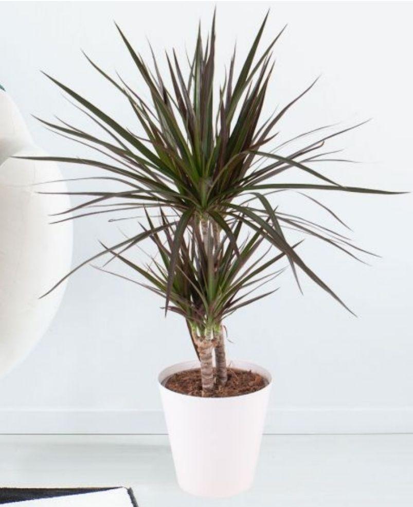 Versch. Blumenstrauß o. Topfpflanzen | z.B. Bunte Gerbera o. Drachenbaum | auch inkl. Vase o. Topf |Blumenversand | Blumenshop u. Groupon |