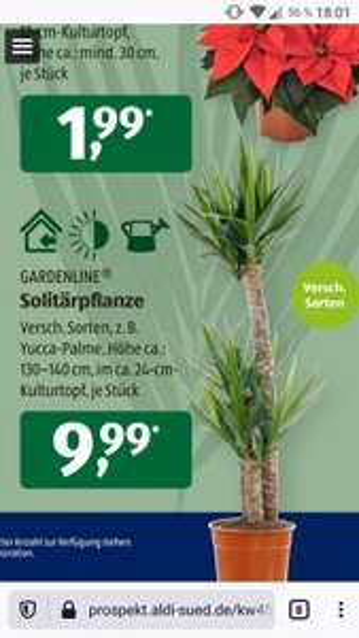 [Aldi Süd] Solitärpflanzen Versch. Sorten Yucca-Palme 130-140cm