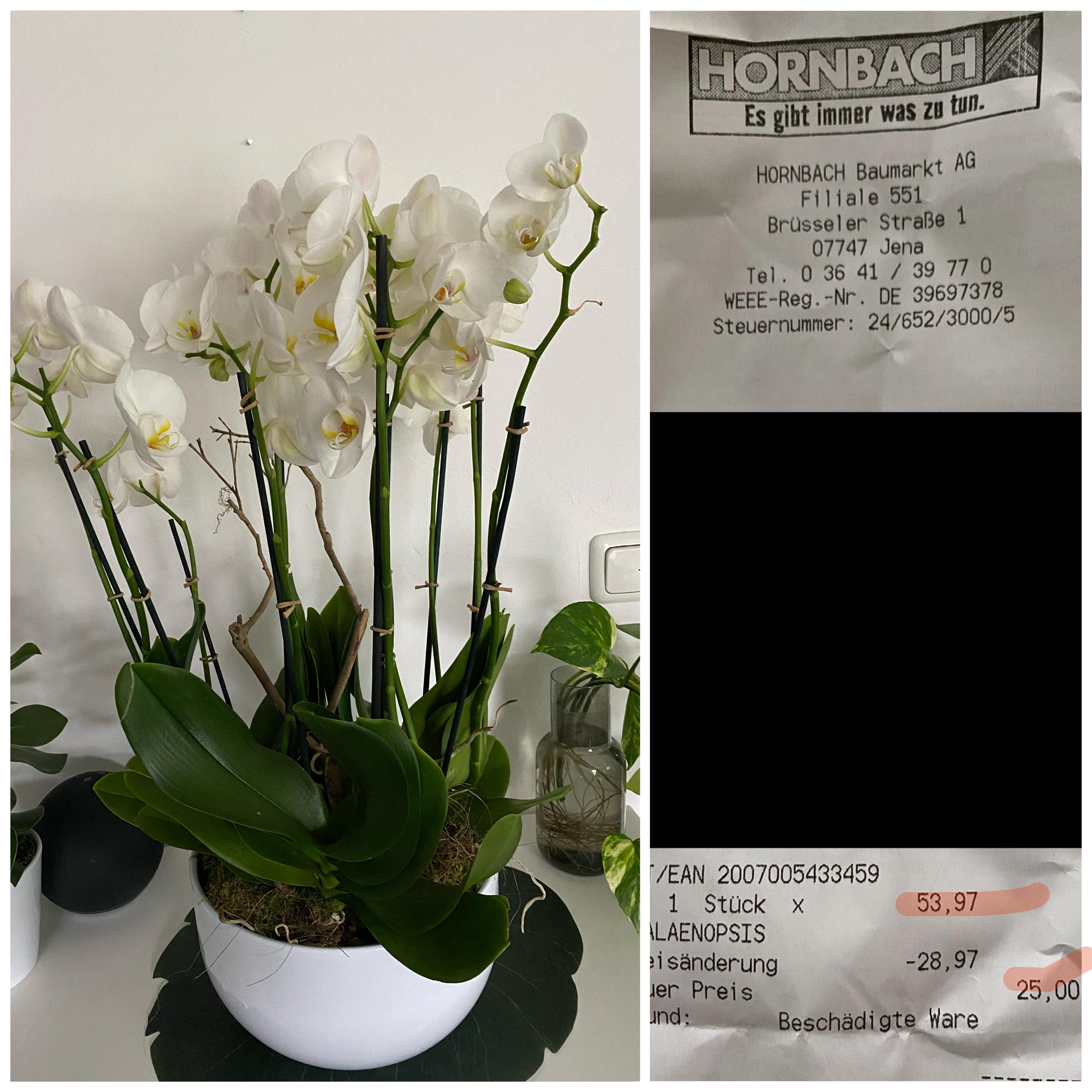 HORNBACH Jena (Lokal?) Phalaenopsis /Orchideen