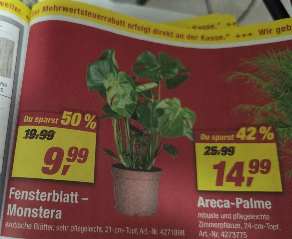 [TOOM] Fensterblatt Monstera beliebte Zimmerpflanze günstiger für alle Pflanzenliebhaber