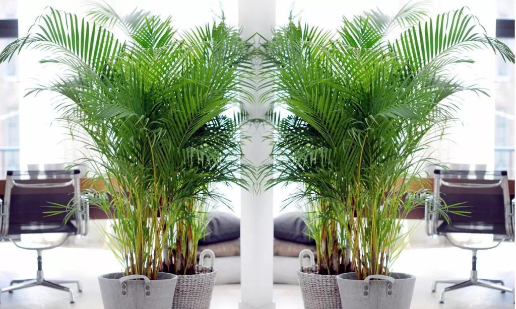 4x Stück Areca-Palme 60 - 75 cm (Goldfruchtpalme) mit luftreinigender Wirkung, alternativ 2 Palmen für 24,83 €