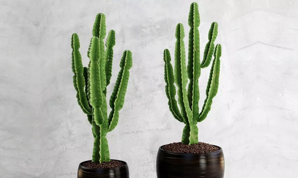 2x Dreikantige Wolfsmilch Kaktus ähnlich groß (60-70 cm) - Euphorbia Eritrea -