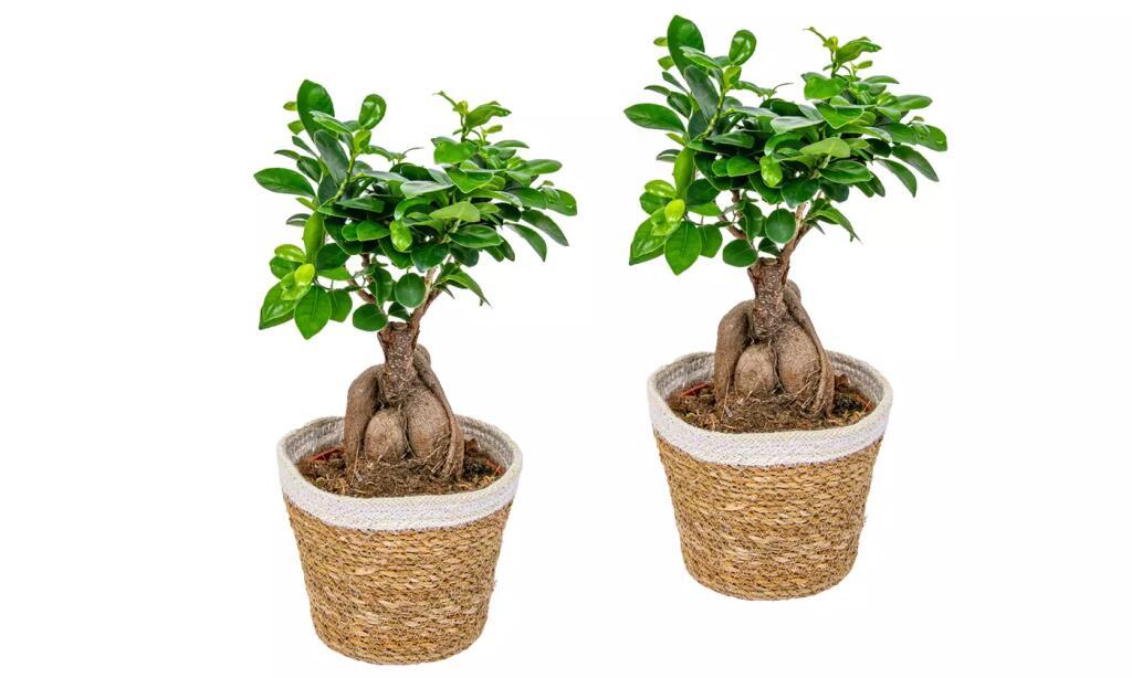 2 x Bonsai Ficus Ginseng mit Topf - Ficus microcarpa - Alternativ auch ohne Topf günstiger