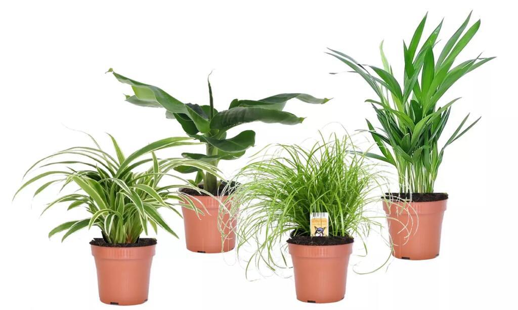 4er Set luftreinigende & haustierfreundliche ungiftige Zimmerpflanzen: Bananenpflanze, Goldfruchtpalme, Katzengras und Grünlilie