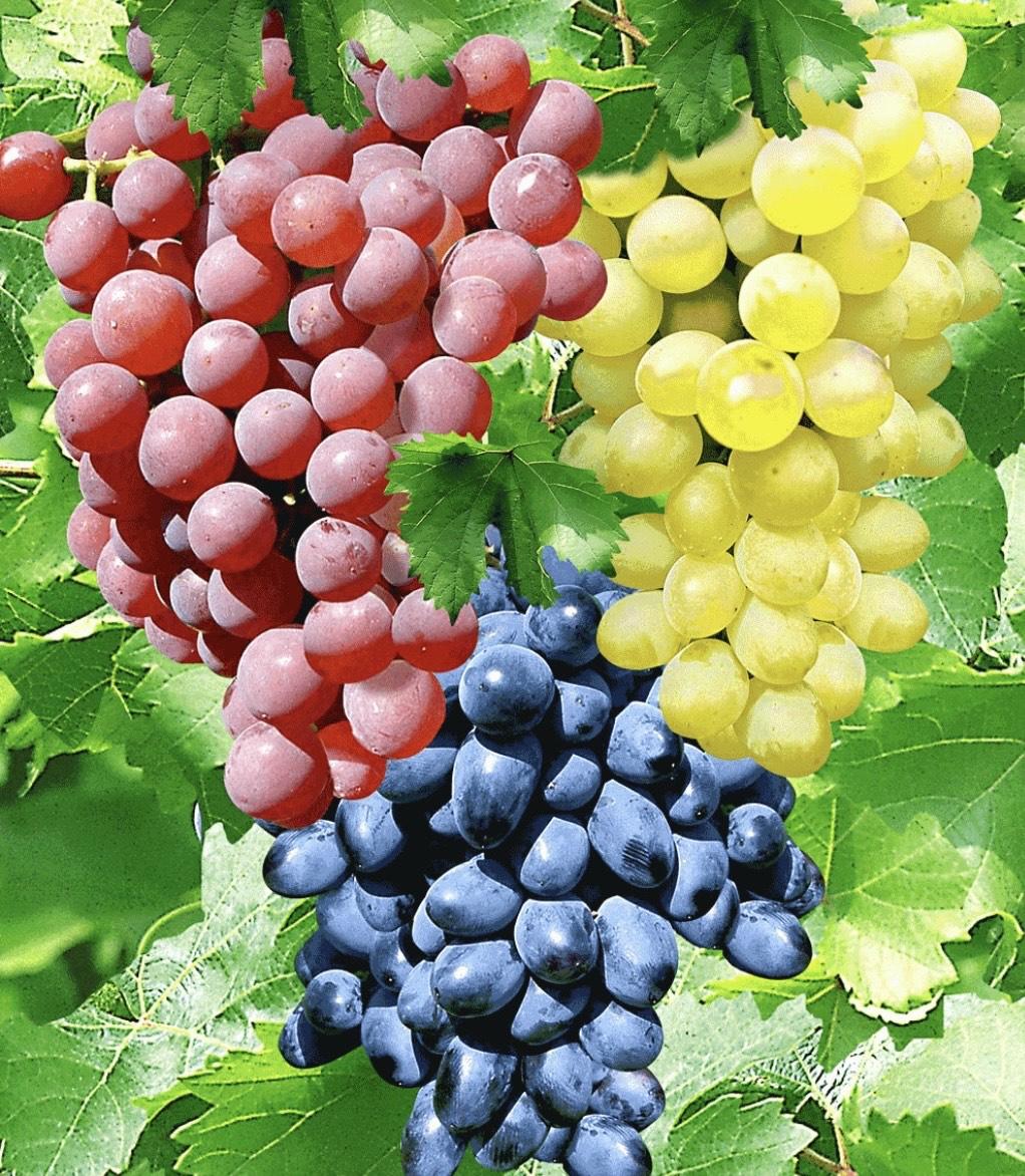 3 Tafel-Trauben/Wein-Kollektion Winterhart