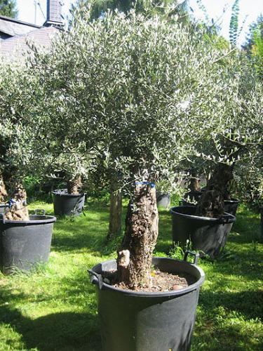 Olivenbäume im Topf bei Metro für 199,- netto