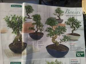 [Aldi Süd] Bonsai ab 19.09
