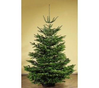 Weihnachtsbaum Nordmanntanne für 39,95 €