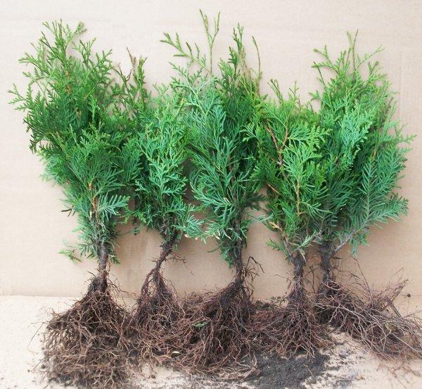 50 Stk Thuja occidentalis 40/50 ~ beliebte und geschätzte Heckenpflanze  oder auch 100 Stück