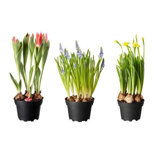 Pflanzen Wochen bei IKEA z.B. Hortensie 14er Topf 2,99€, Blumenzwiebeln 12er Topf 0,99€ etc.