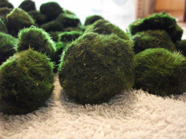 10 Bonsai Mooskugeln Cladophora - Moosball 1 - 3 cm + 1 Moosball gratis, 7,94€ inkl. Versand