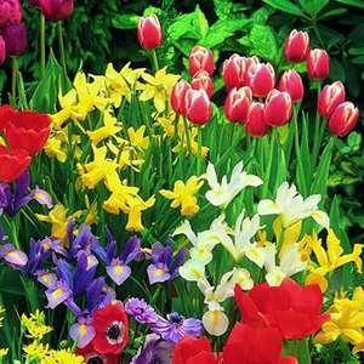 [lokal][OBI Minden] Blumenzwiebeln bei OBI zum halben Preis