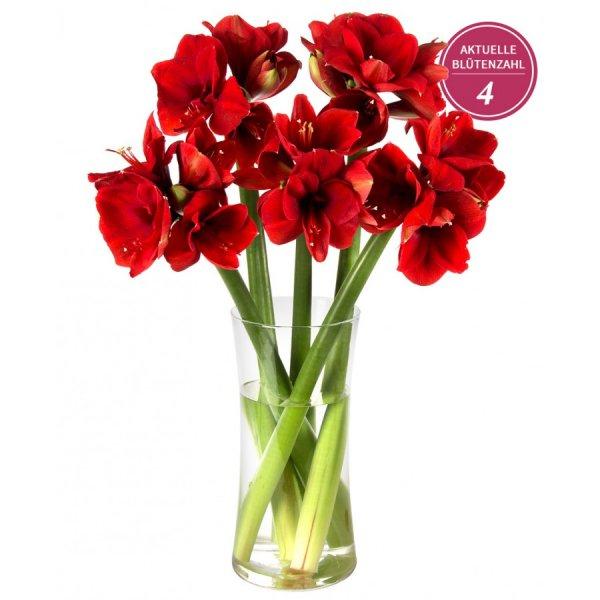 AKTUELL: 16 Blüten : Miflora Blumen Rally - bis zu 20 Amaryllisblüten