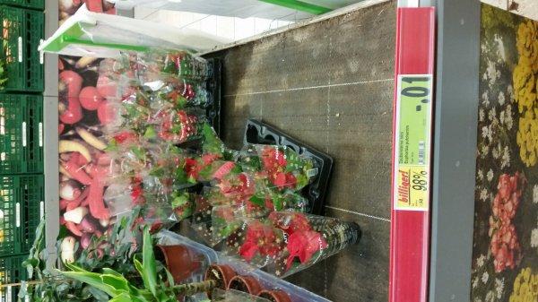 zaubersterstern Mini (Blume ) kaufland nürtingen