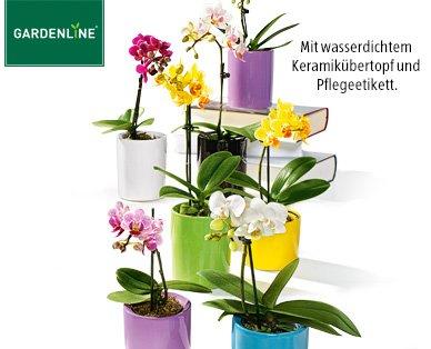 Mini-Phalaenopsis/Mini-Orchidee bei Aldi-Süd für 3,99 € ab dem 28.05.2015