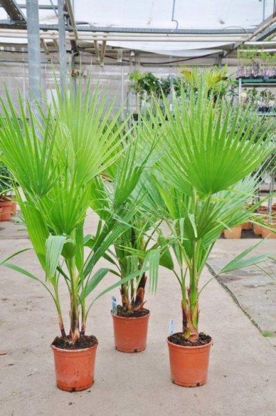 Petticoat-Palme (Washingtonia robusta) für 10,00 Euro beim Palmenmann (Sie sparen 50%) incl. 7 % USt zzgl. 6,90 VSK