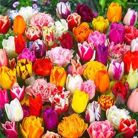 Gärtner Pötschke 50 % auf alle Blumenzwiebeln