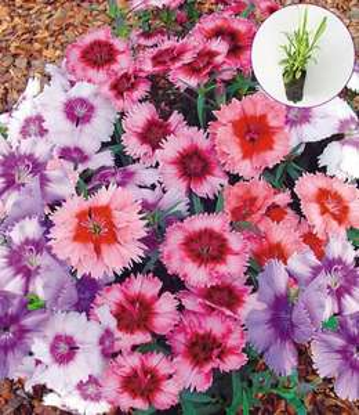 (www.baldur-garten.de) GRATIS 0,01 Cent 'Nelken' 10 Pflanzen