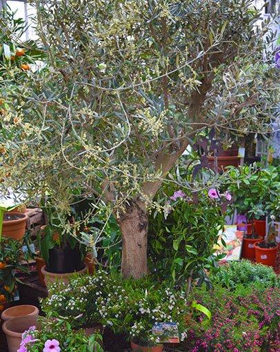[Planzen Kölle] [lokal? Wiesbaden] große Olivenbäume