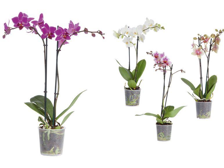 Lidl - Schmetterlingsorchidee (Phalaenopsis) 4,99 € ab 26.09.2016