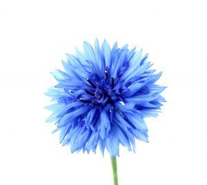 [DARMSTADT] Entega: Gratis Beutel mit Kornblumensamen (Centaurea Cyanus)