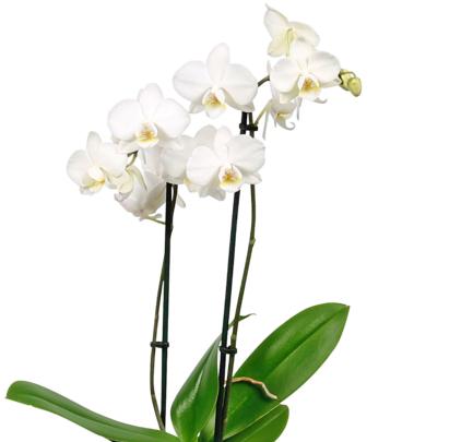 PENNY - Schmetterlingsorchidee (Phalaenopsis) 5,99 € ab 17.10.2016