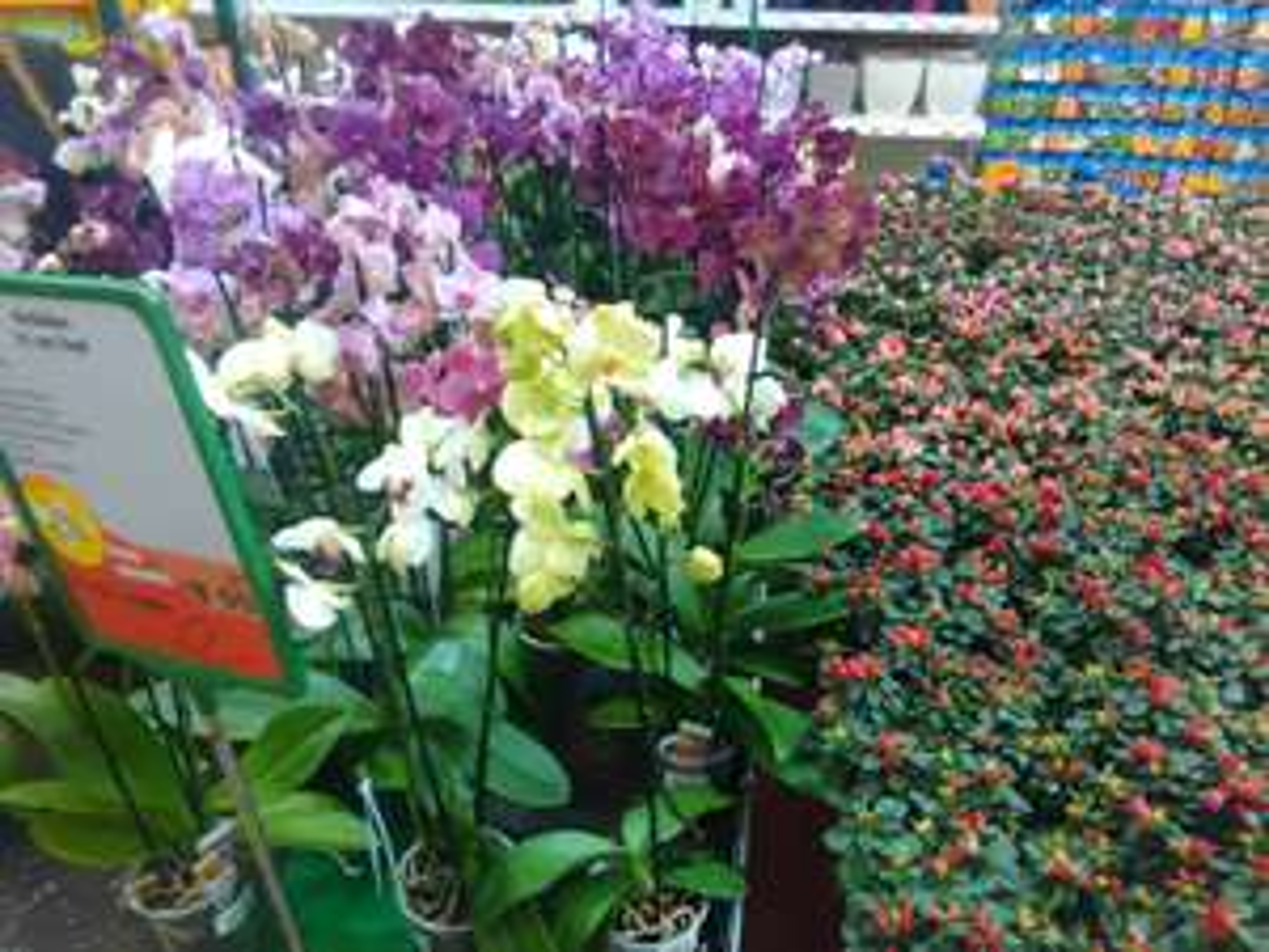 Orchideen GLOBUS-Baumärkte 2,00€(!!)