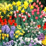 [Blumenzwiebelnversand.de] 500 Blumenzwiebel