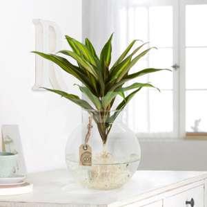 "Sale bei Blume2000, z.B. Waterplant ""Kiwi"", Pflanze in Glasvase"