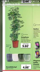 Lidl Pflanzen für 9,80€, mind. 130cm (Yucca, Schefflera, Ficus, ...) - zweite Runde ab 1.10. (+ passende Übertöpfe 4,86€)
