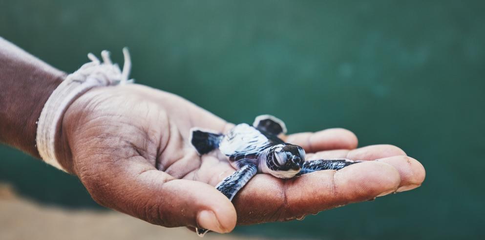 Babyschildkröten sehen: 15 Tage Sri Lanka Rundreise mit Badeurlaub inkl. Flügen und HP ab 1.489€ pro Person - Dealpreis = 2 Personen