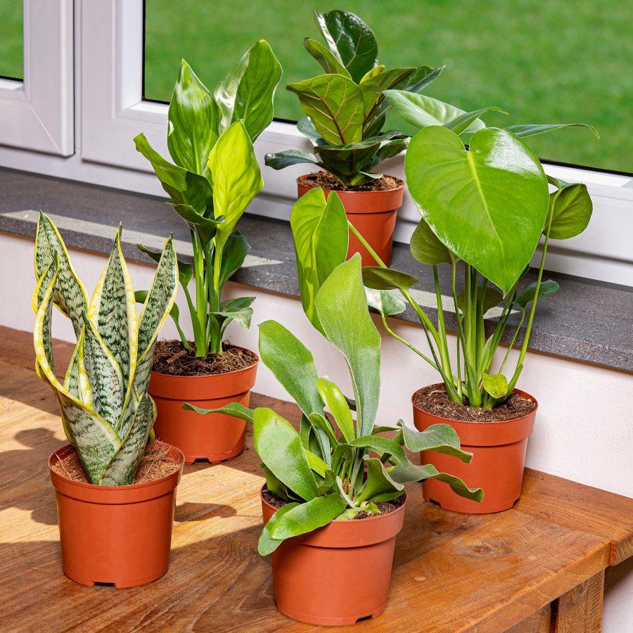 Grünpflanzen bei Aldi Nord ab 20.04. im Angebot, unter anderem Monstera und Ficus