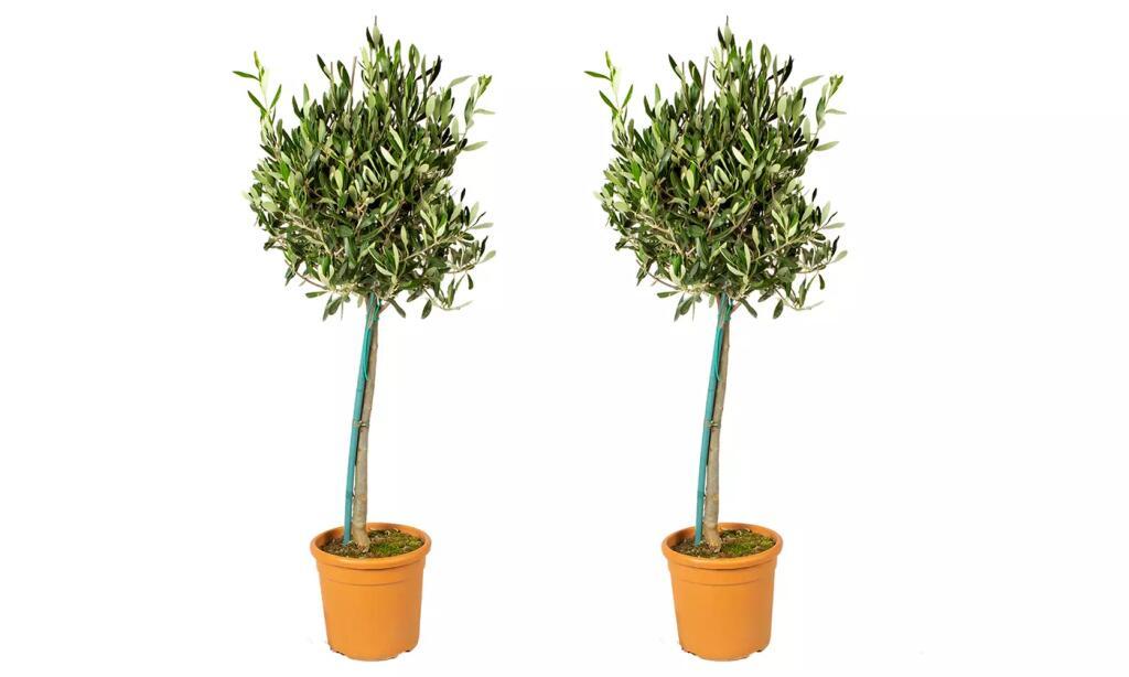 2x Olivenbaum XL (80-100 cm) -pflegeleicht und winterhart-, optional mit Düngemittel
