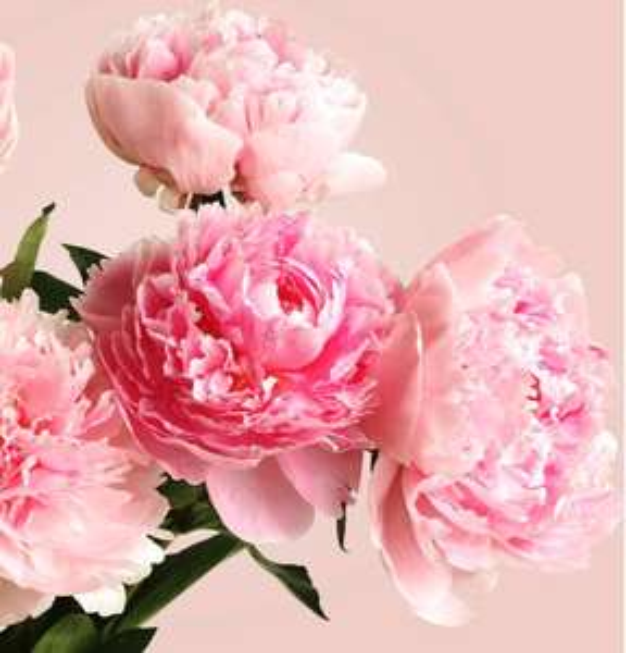 20 rosa Pfingstrosen inklusive Versandkosten, Lieferdatum 12. oder 14. Juni