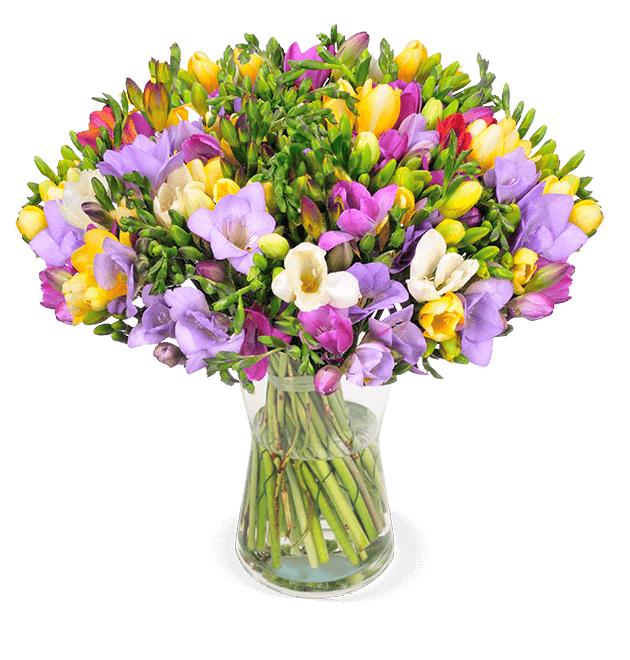 50 bunte Freesien mit bis zu 300 Blüten, inkl. Versandkosten, 7 Tage Frischegarantie
