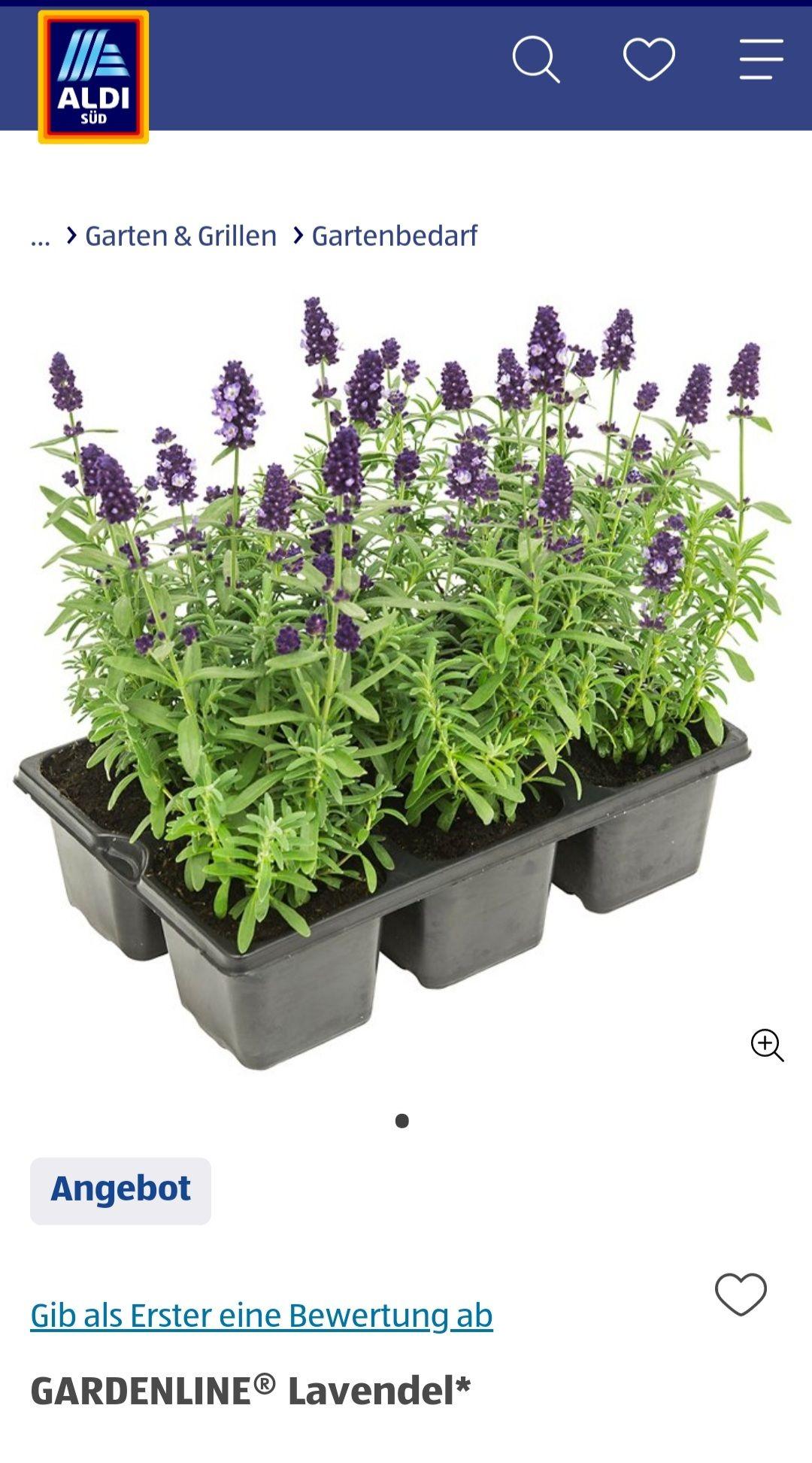 [ALDI Süd] 6er Pack Lavendel Größe 15-25 cm