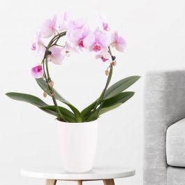 Orchideenbogen Rosa (Phalaenopsis mit Bogen, 45cm) mit Topf für 27,90€