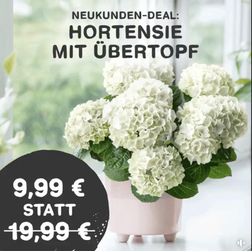 Blume2000 Hortensie in Weiß mit Übertopf incl. Versand ( Neukundenrabatt )